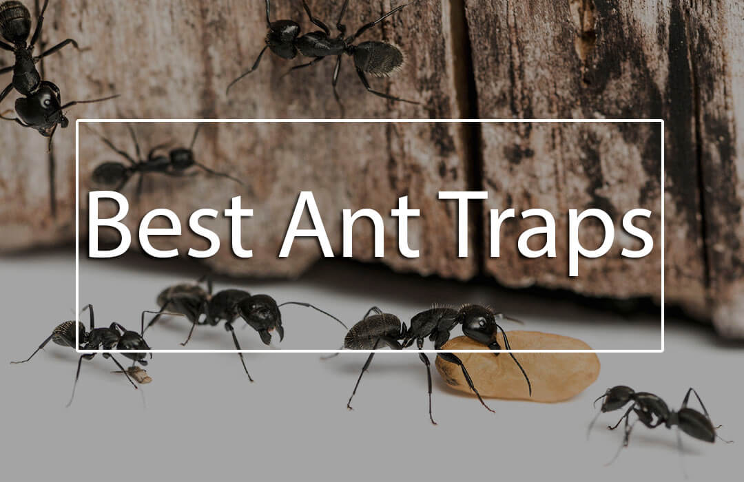 6 best ant traps now you can get rid of ants effectively. Black Bedroom Furniture Sets. Home Design Ideas